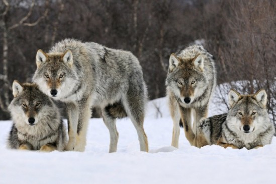 Gray-wolves-485x728